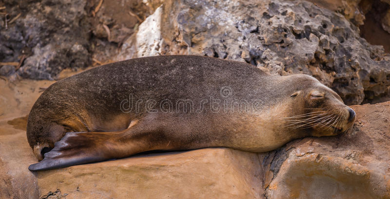 волк моря 2 стоковое фото rf