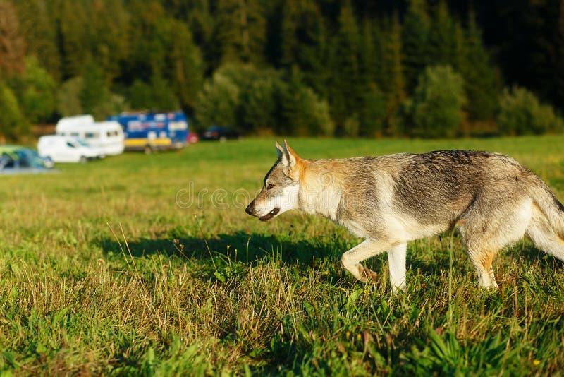Волк причаливая месту каравана располагаясь лагерем в wildniss стоковое фото rf