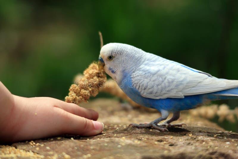 Волнистый попугайчик стоковое фото rf