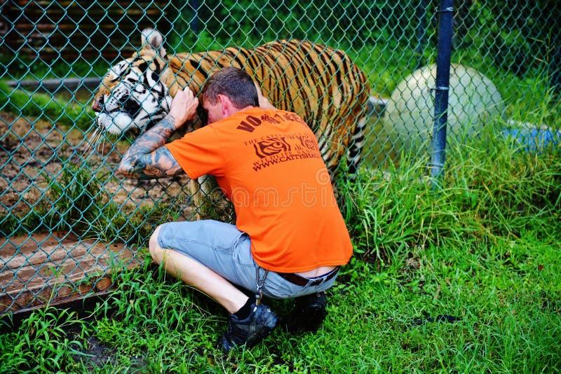 Волонтер и тигр ранчо живой природы лачуги Флориды catty стоковое изображение rf