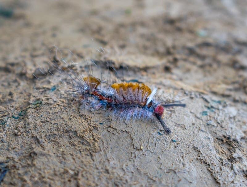 Волосатая гусеница стоковое изображение rf