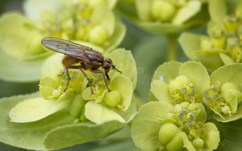 Волосатая муха на цветке стоковая фотография