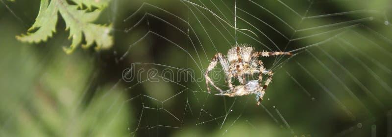 Волосатая смертная казнь через повешение паука потоком на сети оборачивая вверх насекомое стоковая фотография