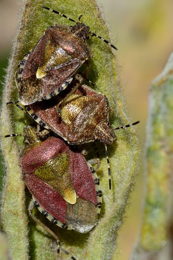 Волосатые shieldbugs (baccarum Dolycoris) стоковые фото