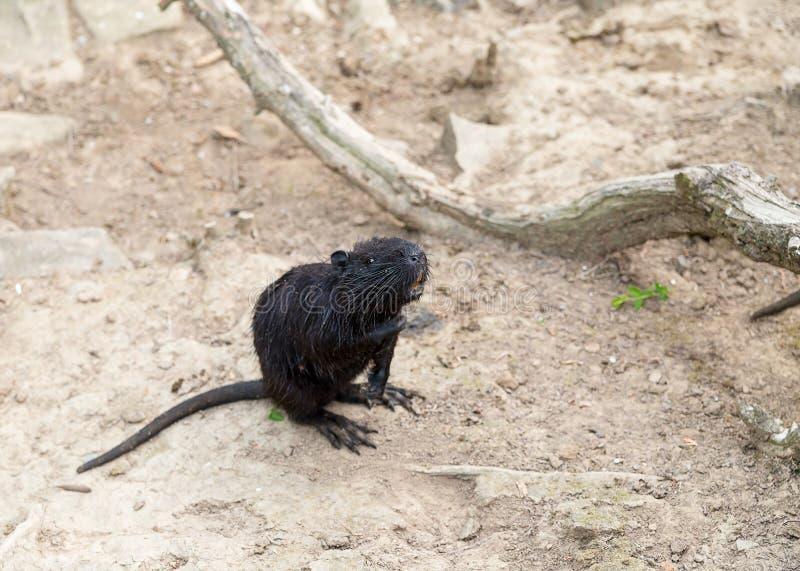 Волосы водоплавающей птицы ондатры черной крысы влажные стоя на их задних ногах ждать запросы еды стоковое изображение rf