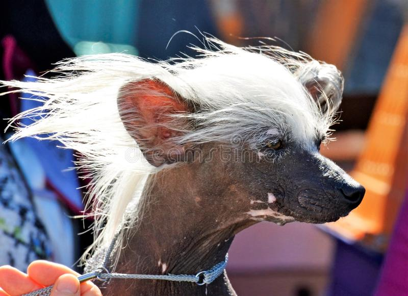 Волосы собаки выставки чемпиона китайские Crested белые в ветре готовом для того чтобы пойти в кольцо выставки стоковое фото