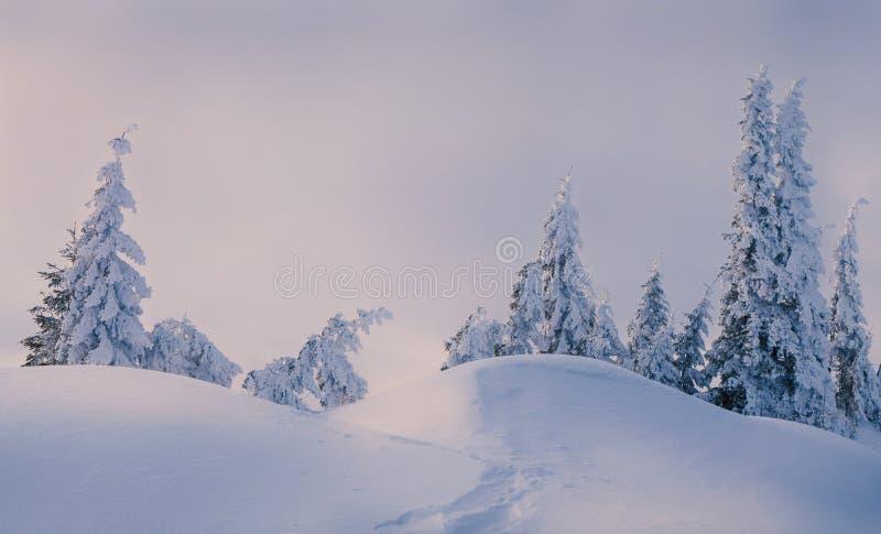 Волшебные ели покрытые снегом в горах стоковые фото