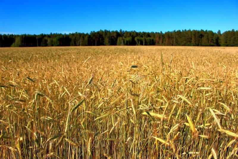 Волшебный заход солнца над пшеничным полем стоковые изображения