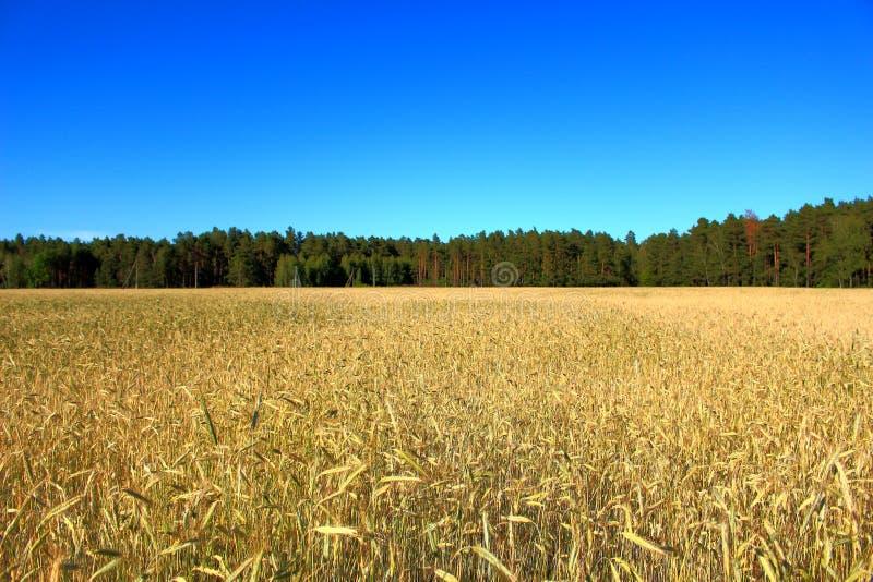 Волшебный заход солнца над пшеничным полем стоковая фотография rf
