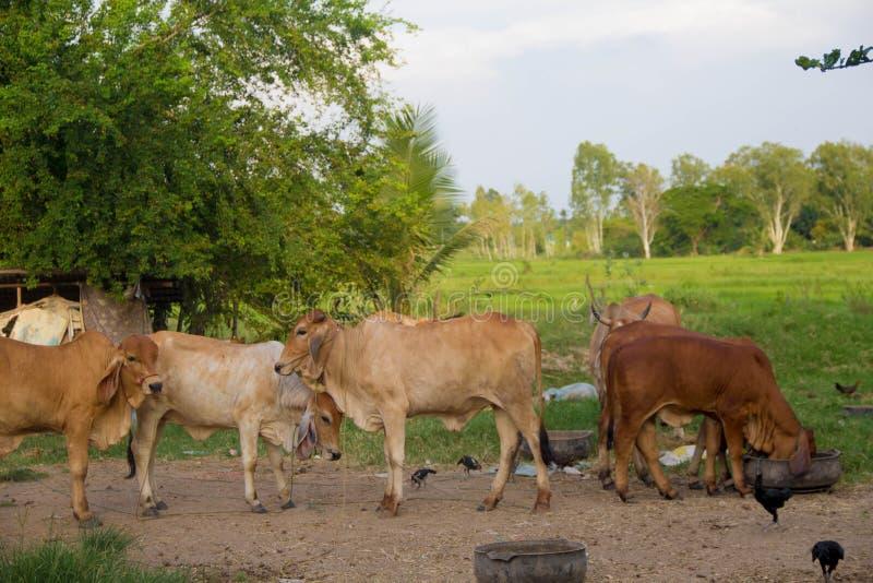 волы стоковое изображение rf