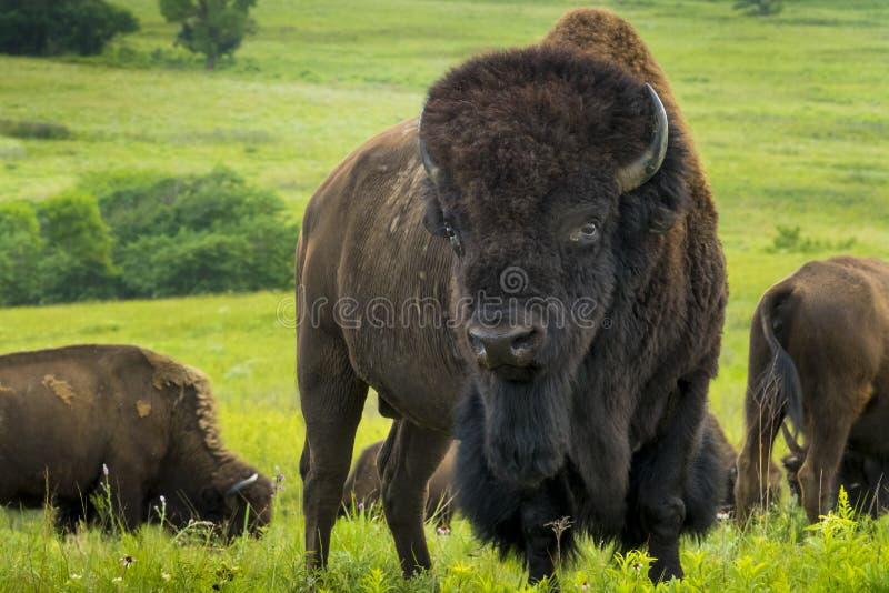 Впечатляющий портрет американского бизона на равнинах Канзаса стоковые изображения rf