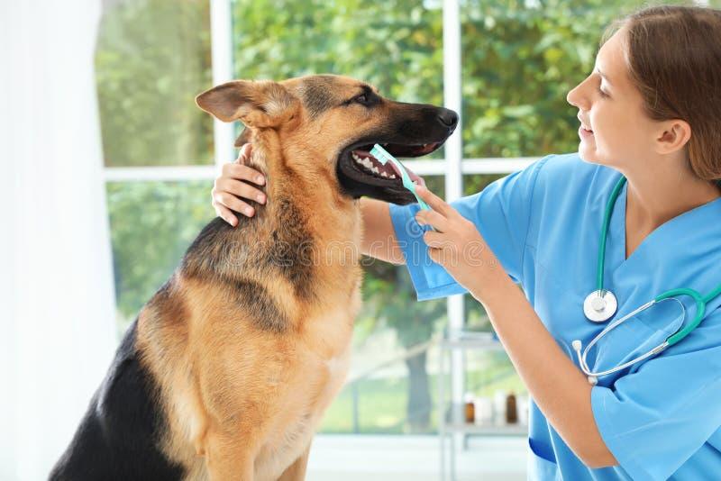 Врачуйте зубы ` s собаки чистки с зубной щеткой внутри помещения стоковые фотографии rf