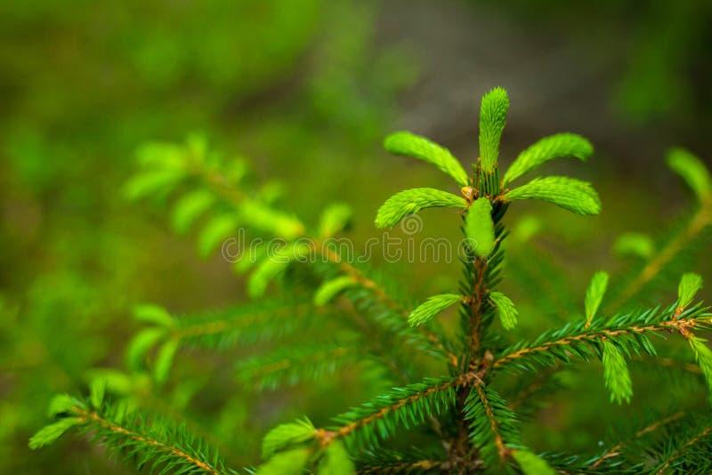 Время бутонов дерева ели или спруса весной стоковая фотография rf