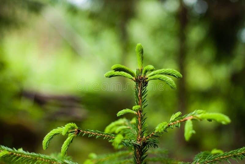 Время бутонов дерева ели или спруса весной стоковая фотография