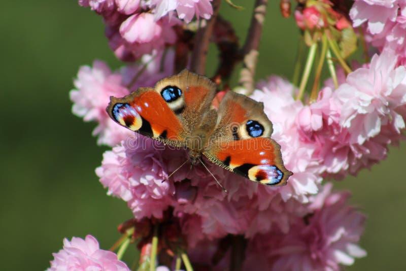 Время весны Великобритании бабочки павлина стоковые изображения rf