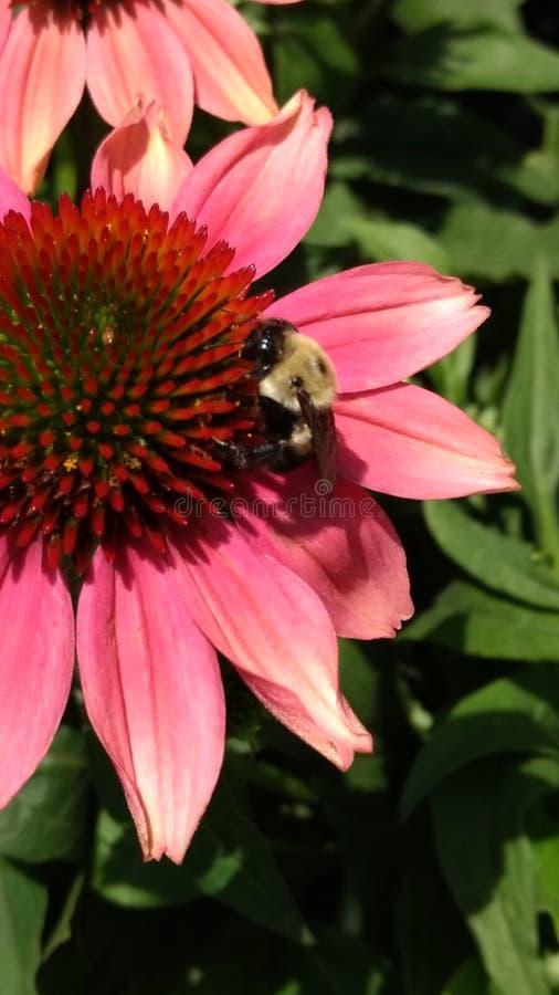 Время кормления пчел стоковая фотография rf