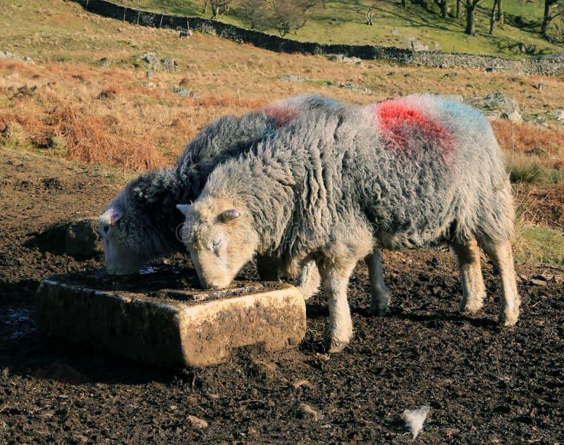 Время кормления для овец стоковое фото rf