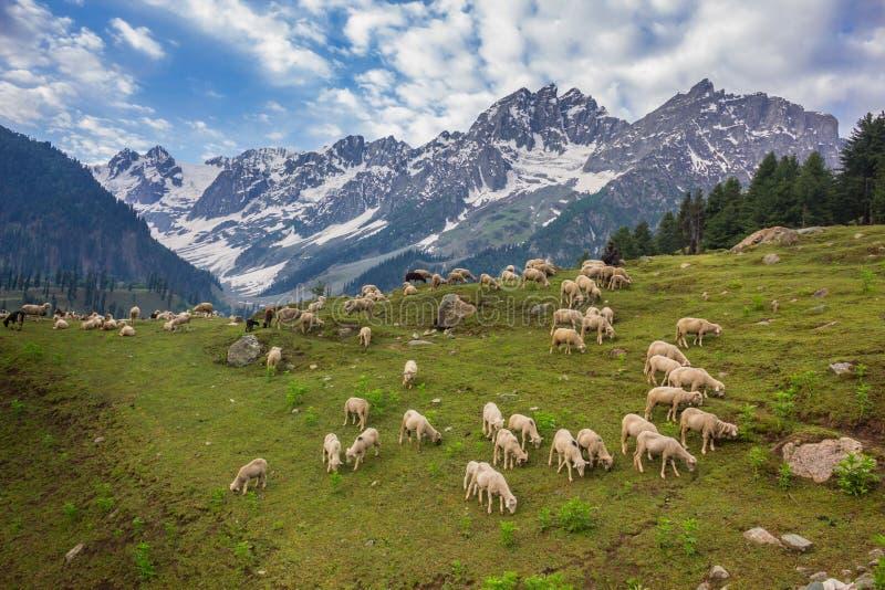 Время овечки весной стоковые изображения rf