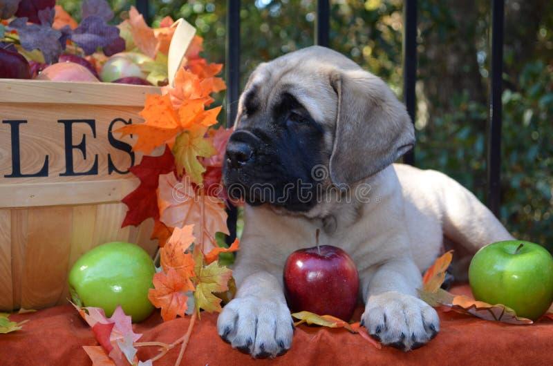 Время падения щенка Mastiff стоковые изображения