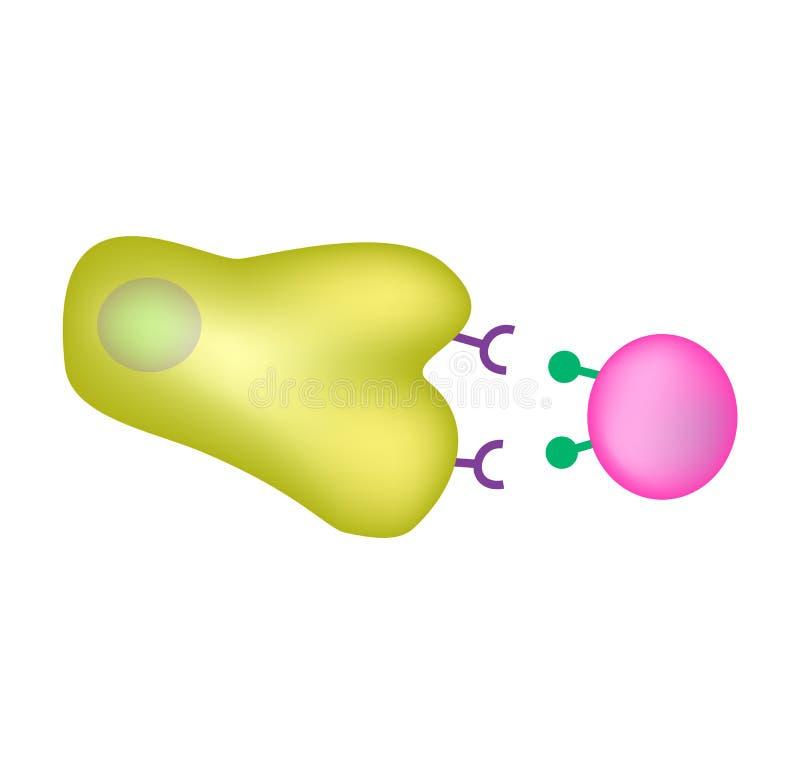 Врождённая невосприимчивость Приспособительное специфический Фагоцитоз Инфографика также вектор иллюстрации притяжки corel иллюстрация вектора