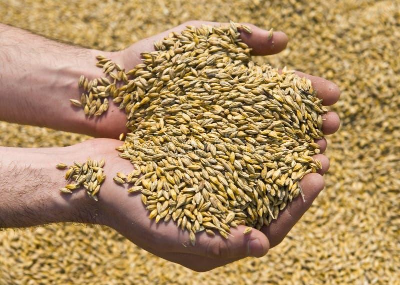 вручает пшеницу стоковое фото