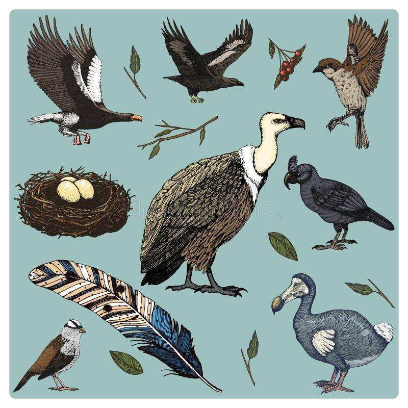 Вручите вычерченному вектору реалистическую птицу, стиль эскиза графический, комплект отечественного хищники griffon и обширн-пре иллюстрация вектора