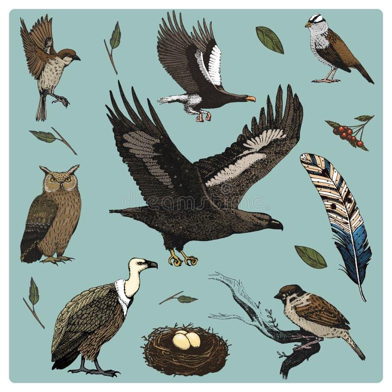 Вручите вычерченному вектору реалистическую птицу, стиль эскиза графический, комплект отечественного хищники и сыч griffon голубь иллюстрация вектора