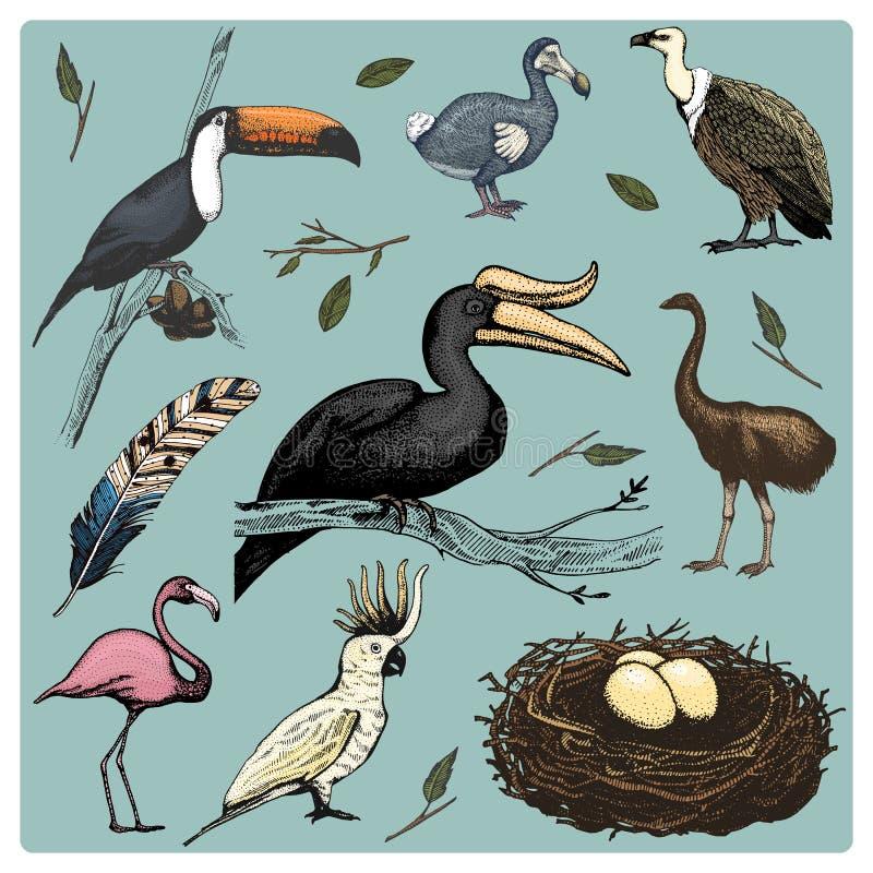 Вручите вычерченному вектору реалистическую птицу, стиль эскиза графический, комплект отечественного хищники griffon, попугай как бесплатная иллюстрация