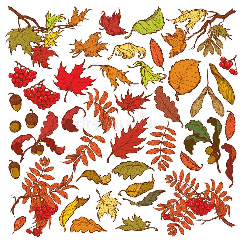 Вручите вычерченные ветви и листья воздержательных лесных деревьев Осень покрасила флористический комплект изолированный на белой иллюстрация вектора
