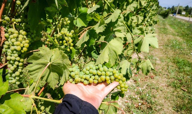 Вручите держать зрелые зеленые виноградины при листья вися на пуке стоковое фото