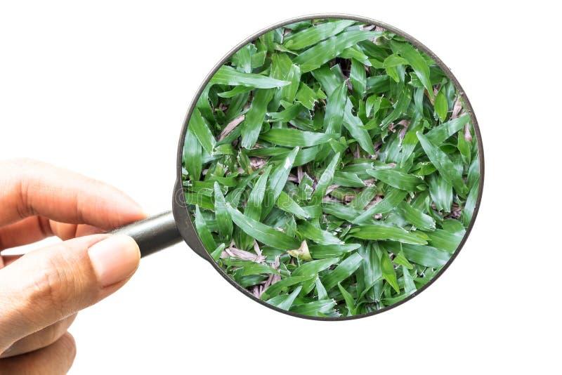 Вручите держать лупу зеленая трава изолированный на белизне стоковое изображение rf