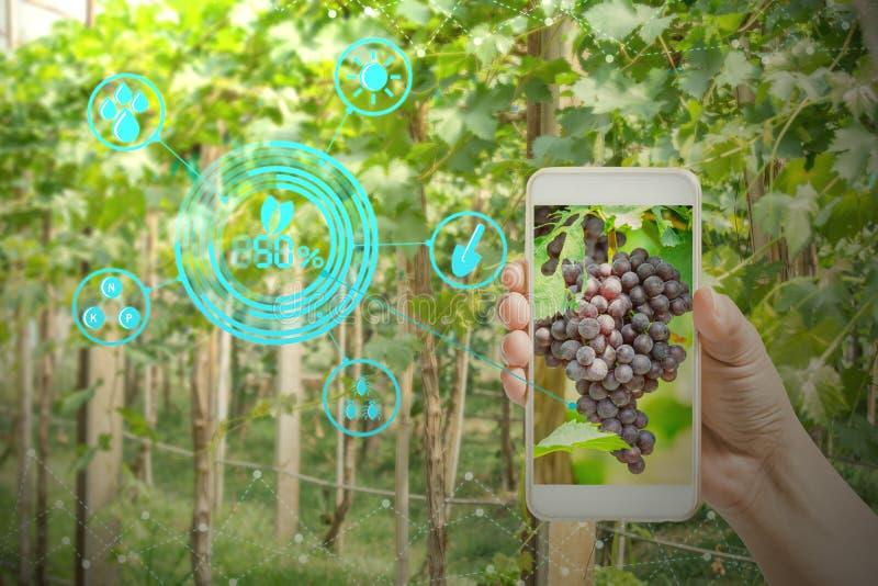 вручите держать мобильный телефон проверяя виноградины в саде земледелия с технологиями концепции стоковое изображение