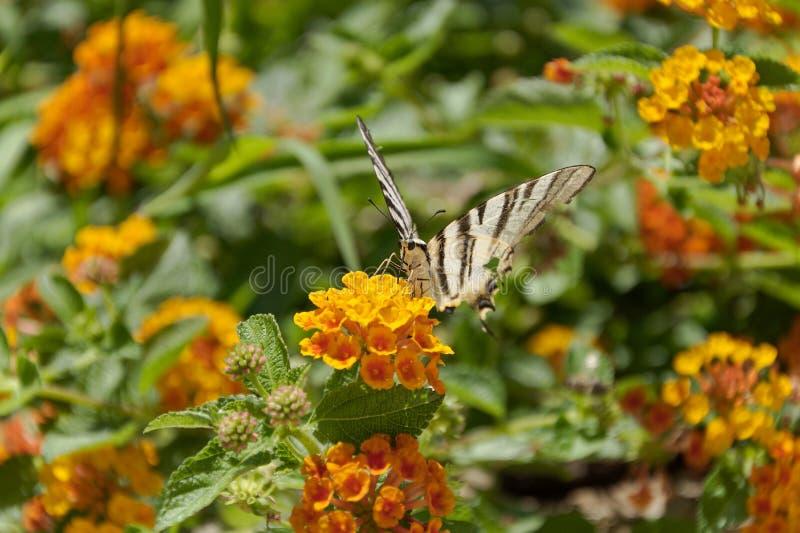 вряд swallowtail стоковая фотография
