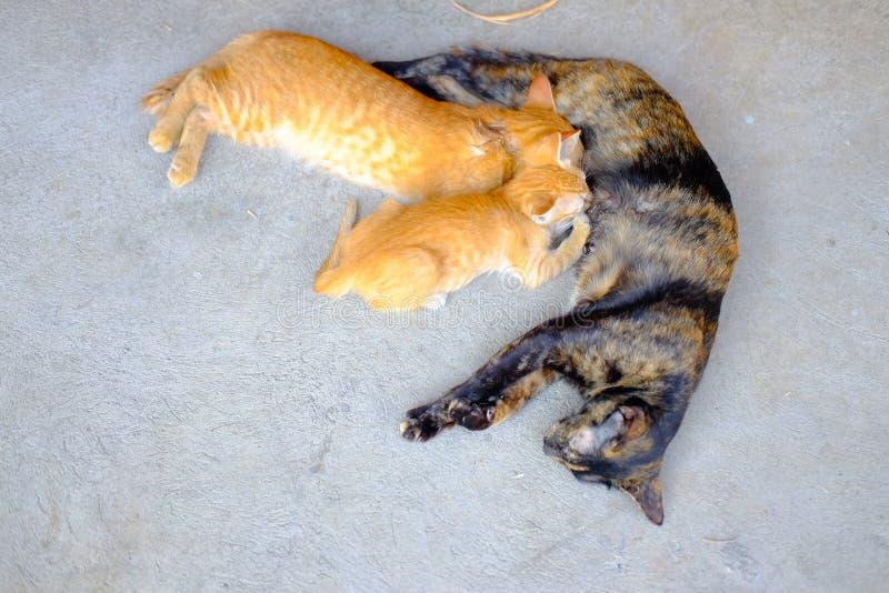 Всасывать котят молока маленькие милые с их котом матери стоковые изображения rf
