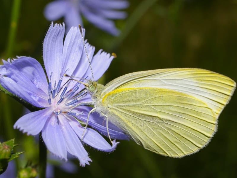 всасывать сока бабочки стоковое изображение