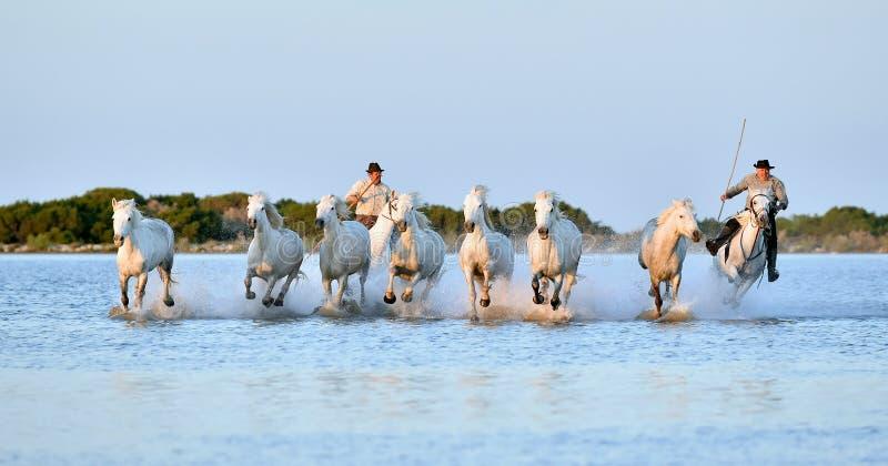 Всадники и табун белых лошадей Camargue бежать через воду стоковое изображение rf
