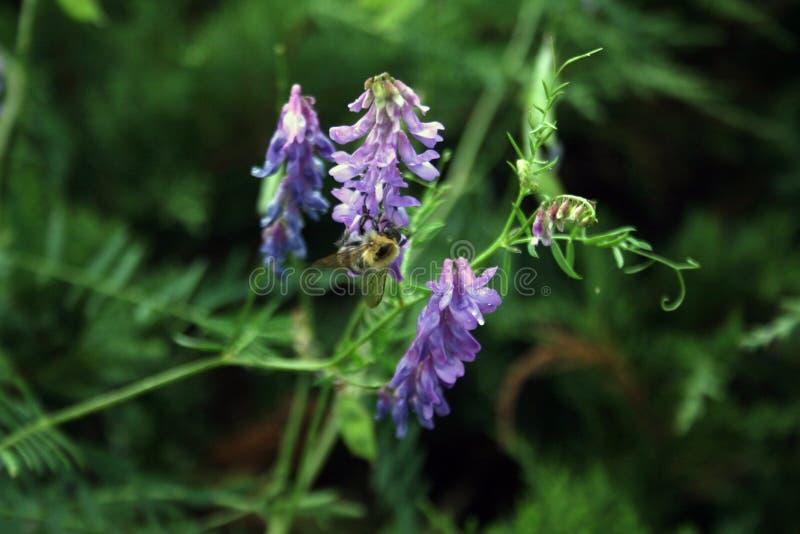 Всепокорн-пчела на цветке стоковая фотография