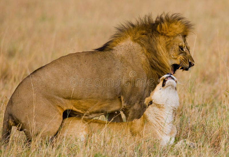 Встречать льва и львицы в саванне Национальный парк Кения Танзания masai mara serengeti стоковая фотография rf
