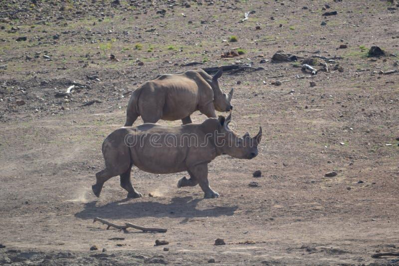 Встреча гиппопотама и носорога стоковые фотографии rf