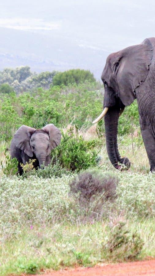 Встреча слона матери и младенца в африканском кусте стоковые фотографии rf