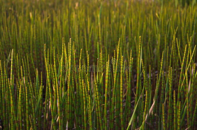 Всходы весны заводов болота стоковые фото