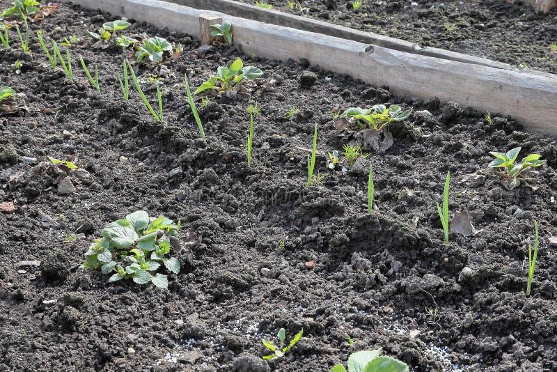 Всходы весны клубник и чеснока в саде стоковое изображение