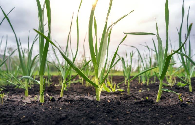 Всходы зеленого лука под солнцем стоковое изображение rf