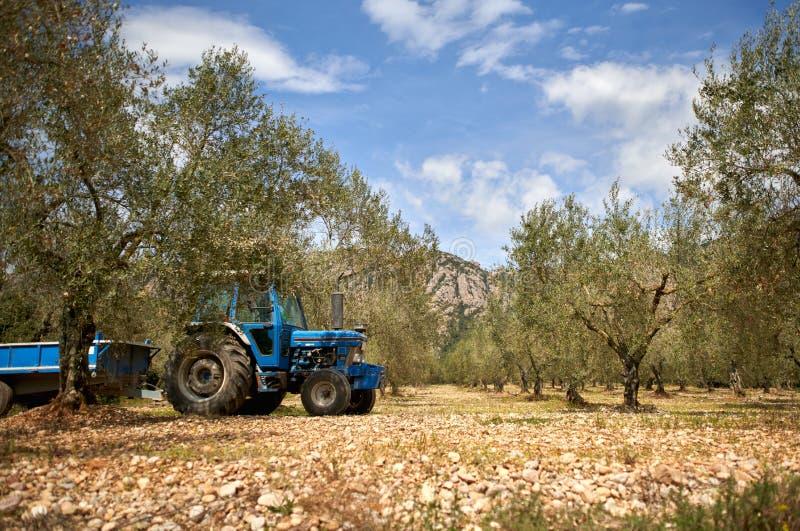 Плантация оливкового дерева Всход ветви оливкового дерева тележкой Уединенный прованский расти стоковые фото
