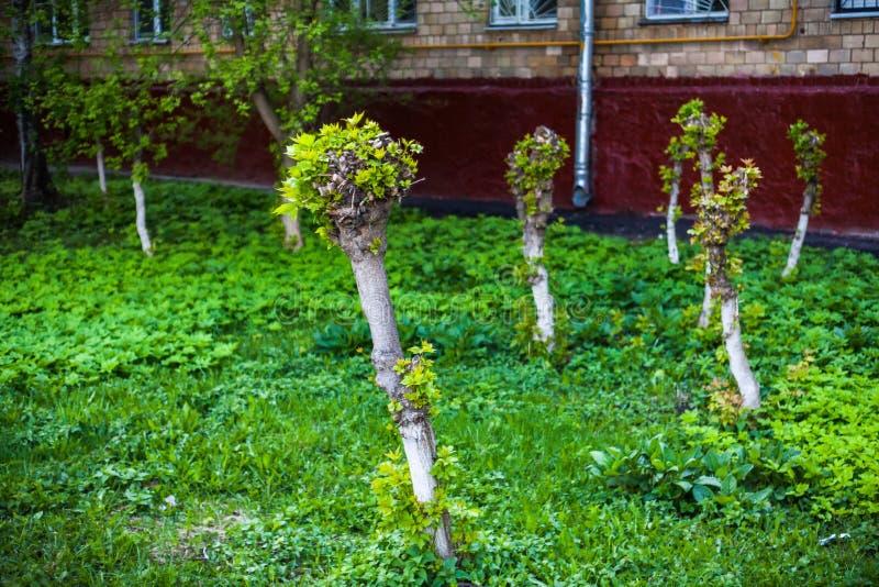 Всходы и листья детенышей на кленах выключения стоковые изображения
