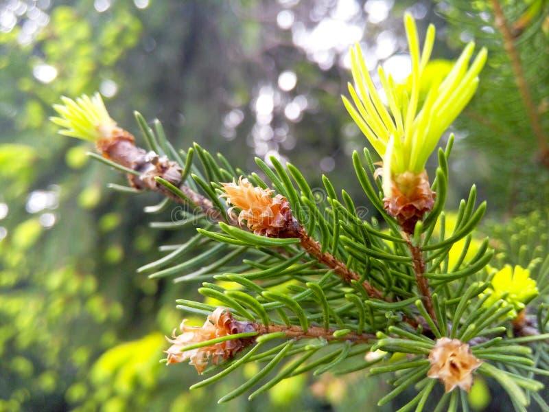 всходы spruce детеныши стоковая фотография rf