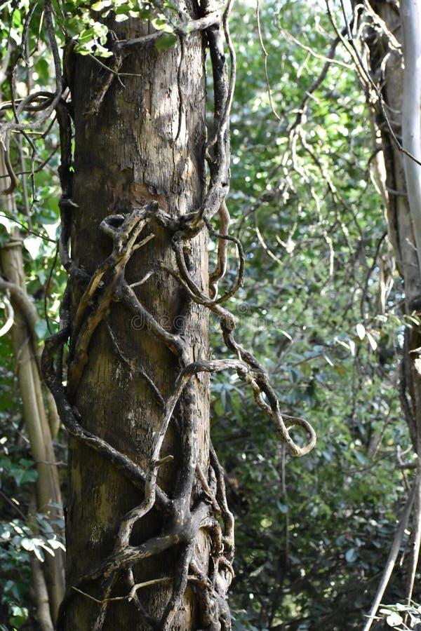 Вторгаясь плющ поглощая дерево с нуля, 2 стоковые изображения rf