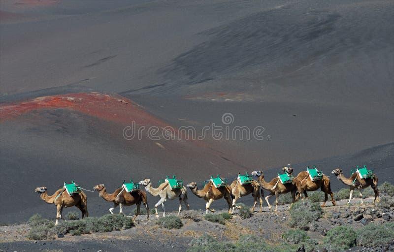 Вулканические ландшафты Лансароте с верблюдами стоковая фотография
