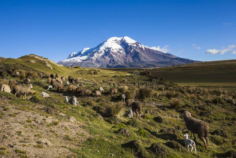 Вулкан и овцы Chimborazo стоковое изображение rf