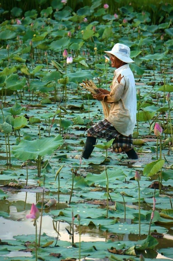Въетнамский цветок лотоса урожая фермера стоковая фотография